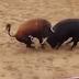 Φρίκη: Νεκροί δυο ταύροι σε μετωπική στην αρένα! (vid)