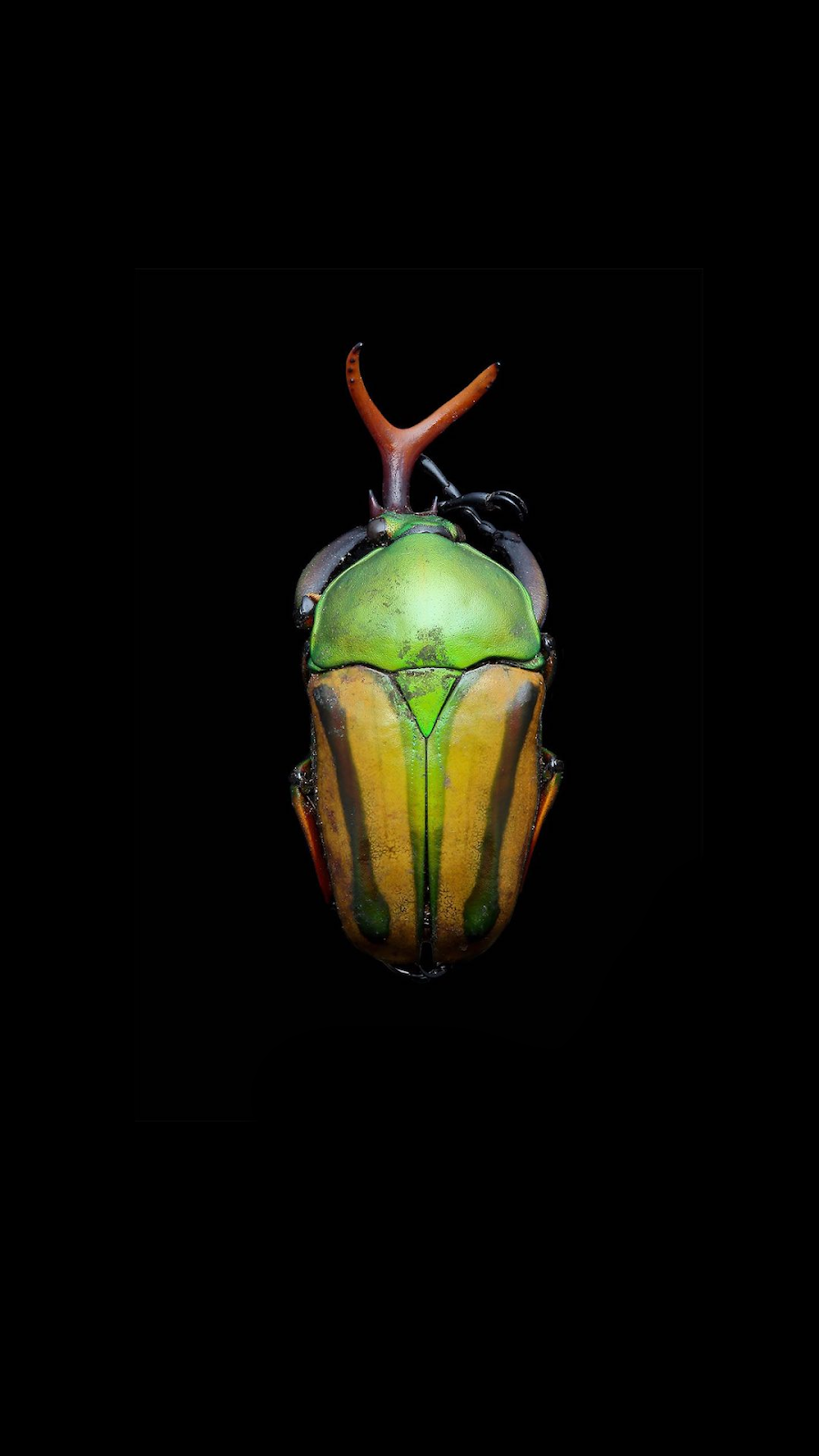 AMOLED WALLPAPER FOR SMATPHONES WITH INSECT MACRO PHOTOGRAF IN HD AND BLACK BACKGROUND