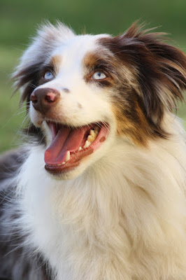 A very happy mini-Aussie... Successful problem-solving makes dogs happy and gives them 'eureka' moments