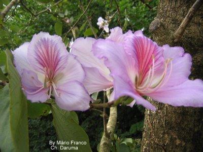 árvore flor parecida com orquídea