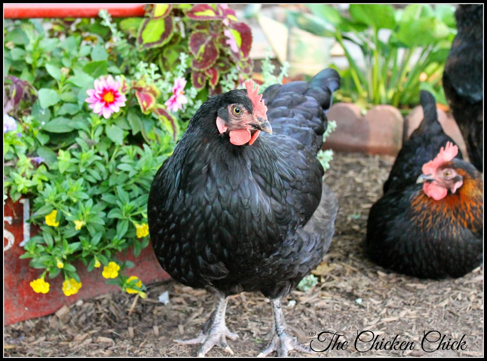 Black Copper Marans hens