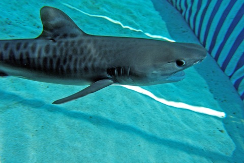 baby tiger shark photo