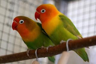 Burung Lovebird- Perlengkapan Untuk Penangkaran Burung Lovebird Kandang Sepasang Atau Koloni Lebih Baik Mana Ada Diartikel Ini