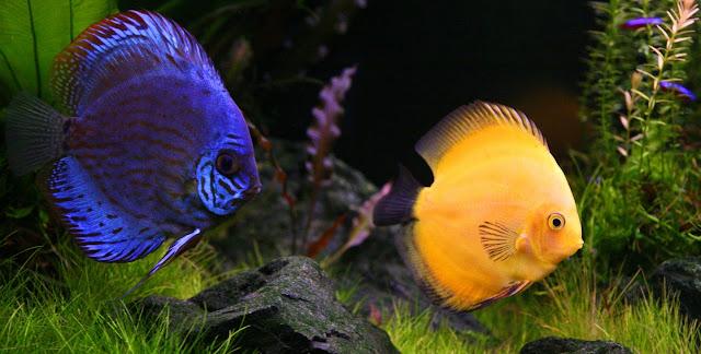 Gambar Ikan Discus - Budidaya Ikan