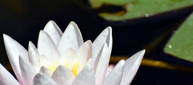 water lily, Como, Comojärvi, lake Como, Villa Carlotta, Tremezzo, Lario, Margherita Leoni, Clerici, Sommariva, Italy, Italia, Lombardia, pohjois-Italia, Italian järvialue, The Italian Lakes, North Italy Lakes
