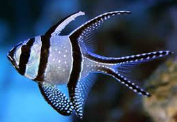 Ikan Hias Air Laut Cardinalfish