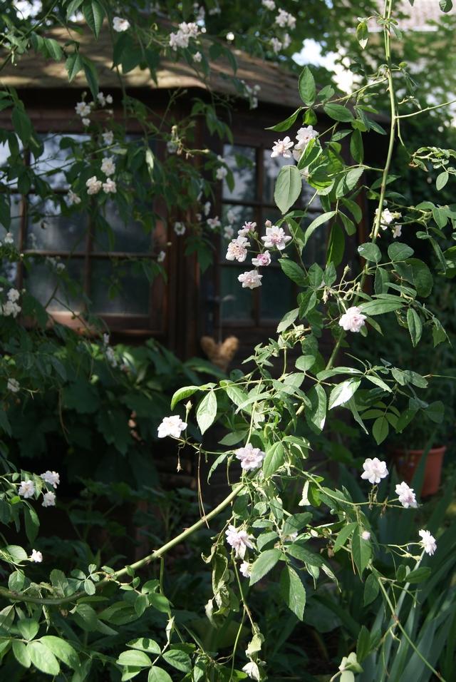 Ramblerrose Pauls himalayan musk
