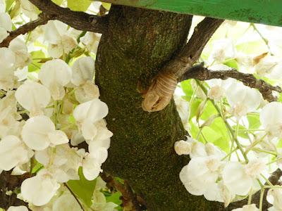藤の花と空蝉 下福島公園