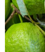Guava fruit - Skin Hydration