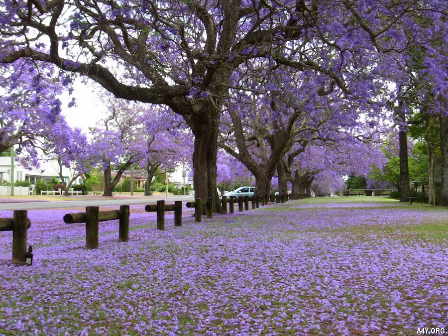 công viên rợp màu tím của hoa phượng