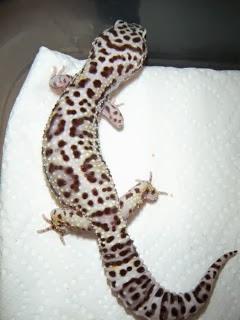 Mack Snow Gecko, harga gecko hias, harga jual gecko, harga hewan gecko, jual gecko import, jual gecko indukan, jual incubator gecko, harga gecko indonesia, jual inkubator gecko, harga indukan gecko, jual gecko jogja, jual gecko jantan, jual gecko jember, jual gecko jungle, jual gecko jinak, jual gecko jambi, jual gecko jawa timur, jual gecko jumbo, harga gecko jakarta, jual gecko, jual gecko kualitas kontes, jual gecko kediri, jual gecko kontes,