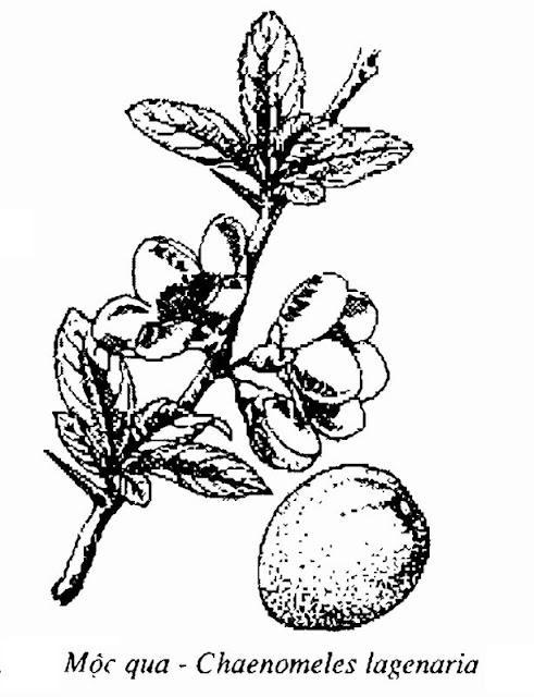 Hình vẽ Mộc Qua - Chaenomeles lagenaria - Nguyên liệu làm thuốc Chữa Tê Thấp và Đau Nhức