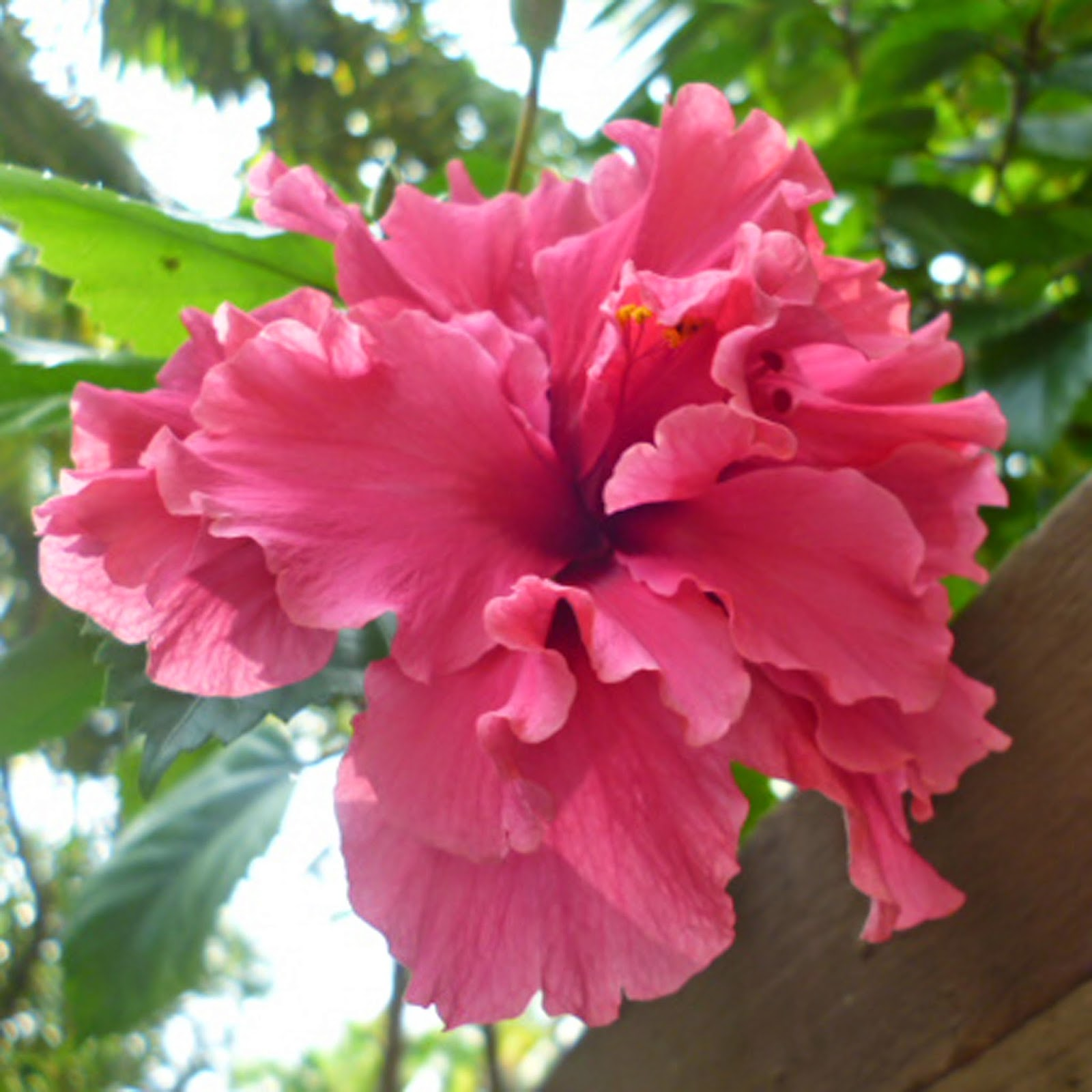 Infoworld hibiscus rosa sinensis let us chant the glories of the sun god whose beauty rivals that of the japa hibiscus flowers izmirmasajfo