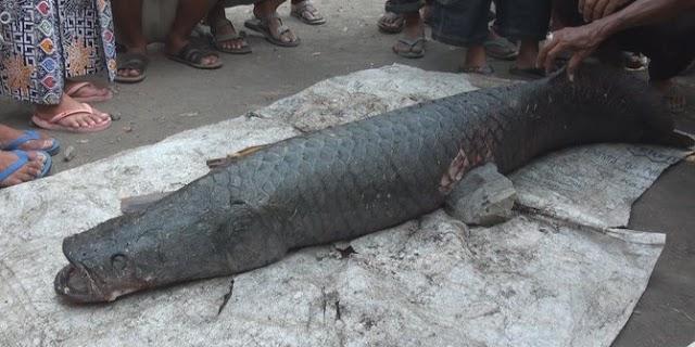 Warga Mojokerto ramai-ramai tangkap ikan Arapaima di Sungai Brantas