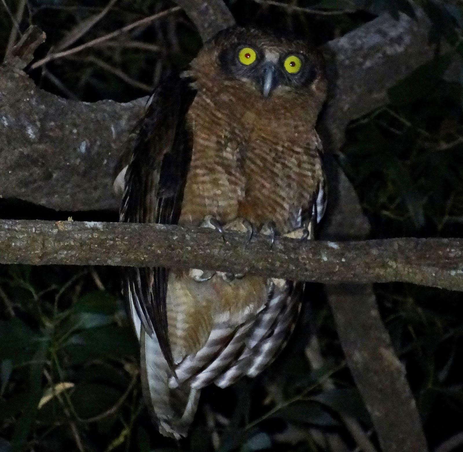 Rufous owl - photo#40