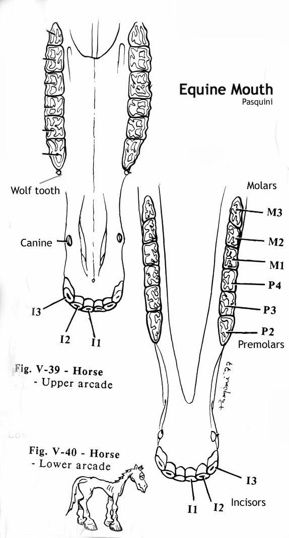 diagram of horses teeth