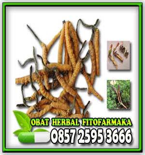 bahan muncord, cordyceps micellium bahan muncord, herbal muncord capsules