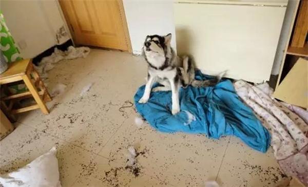 """Làm Husky, không quậy """"banh nhà"""" thì biết làm gì bây giờ?"""
