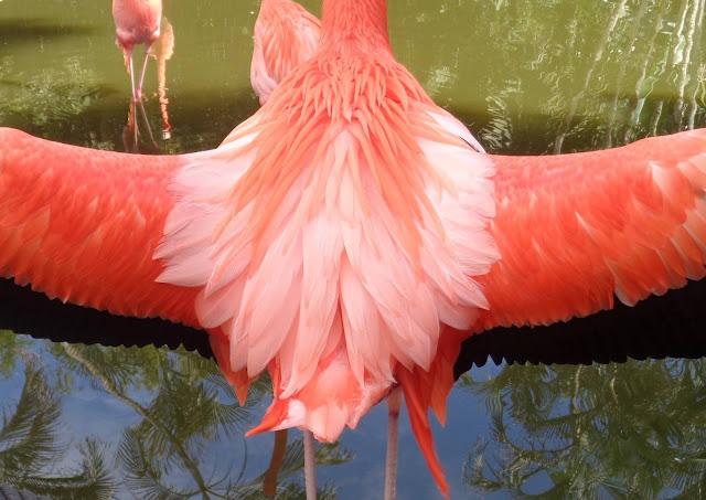 Flamingo at Flamingo Gardens