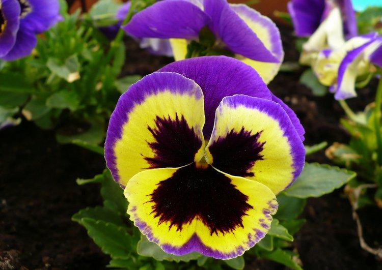 Szkiełkiem Okiem I Sercem Bratki Wiosenne Kwiaty