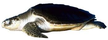 Tartaruga Olivácea (Lepidochelys olivacea)