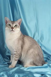 gambar kucing Burmilla