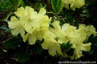 Różanecznik 'Goldbukett'- Rhododendron 'Goldbukett'