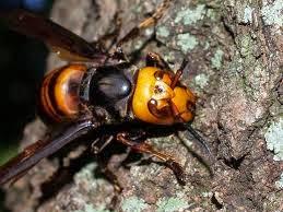 lebah penyengat jepang