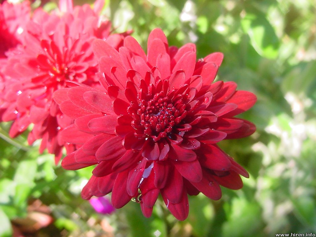 Beautiful Flowers: Cherysanthmum