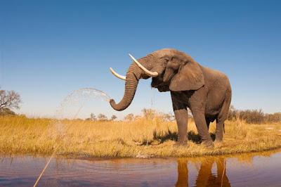 Elefantes, mortes, marfim, envenenados, elefantes mortos por envenenamento, elefantes envenenados, mercado de marfim, venda de marfim, caçadores, caçadores de elefantes, caçadores de marfim, áfrica, Zimbabue