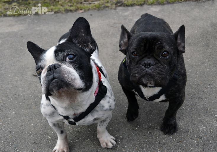 Adopting a french bulldog from a puppy mill