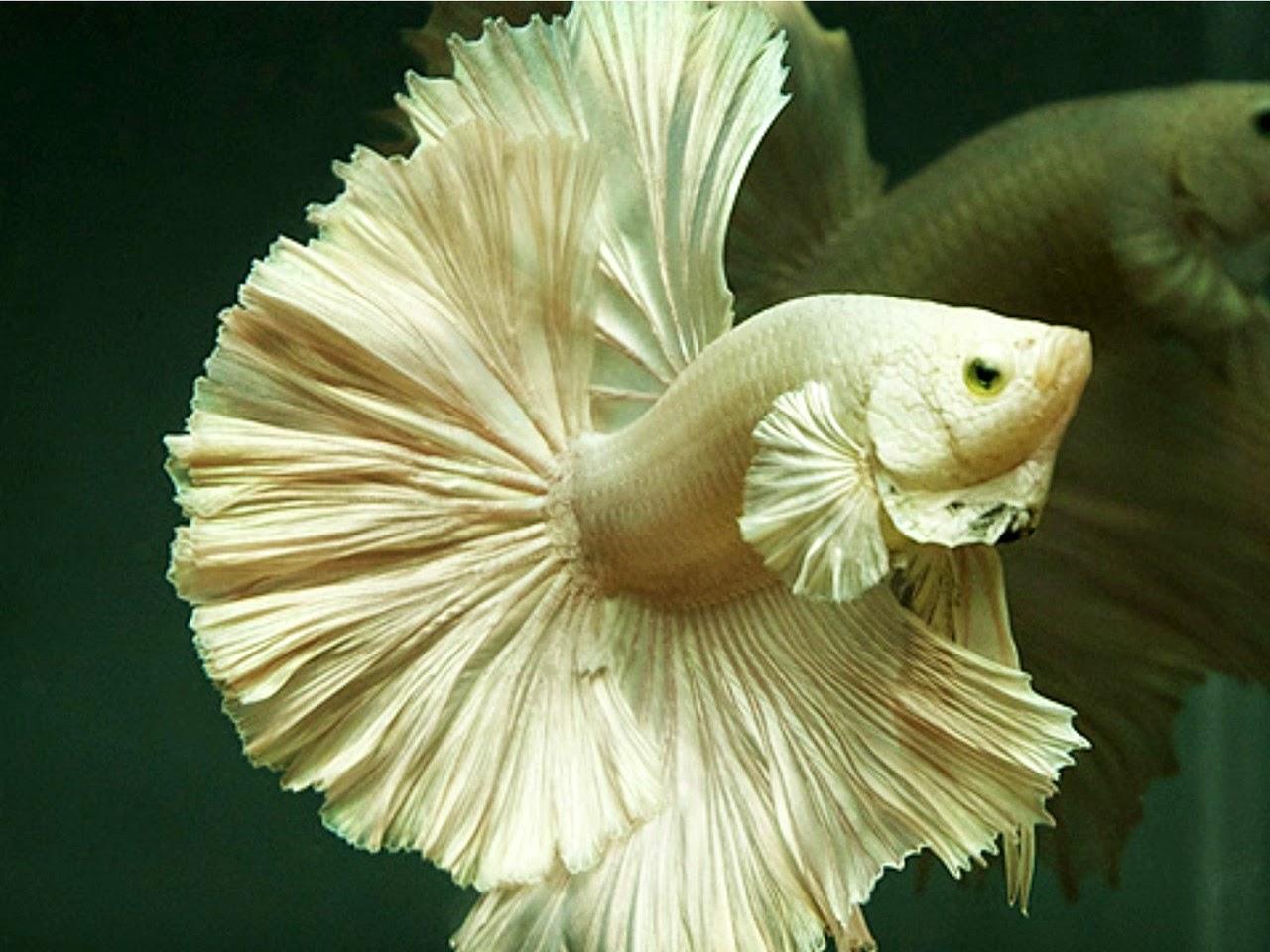 Gambar Ikan Hias Aquarium Cupang