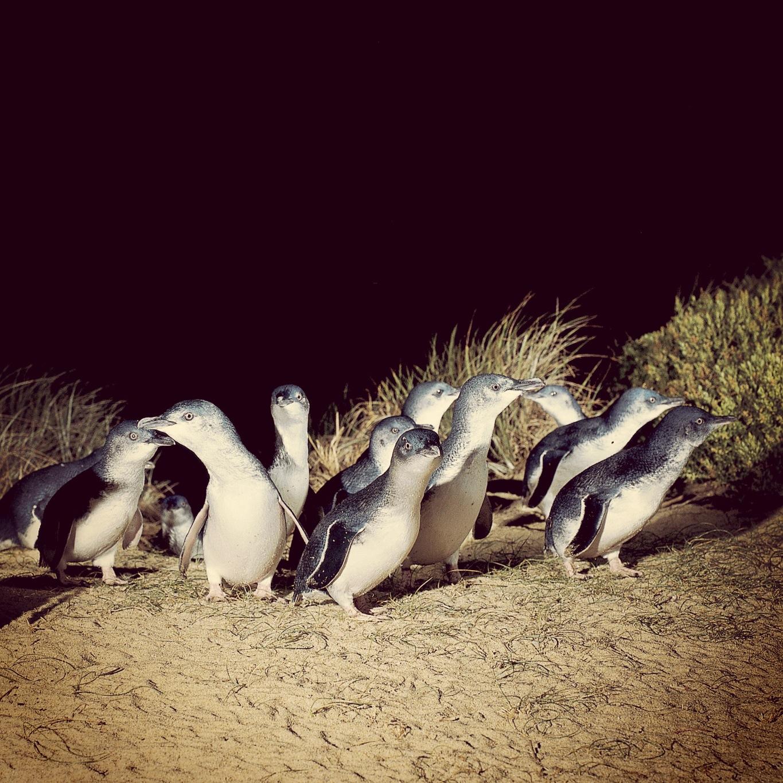 Phillip Island Australia: The Penguin Parade