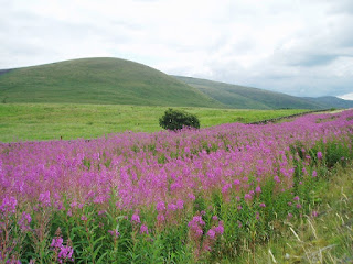 https://commons.wikimedia.org/wiki/File:Rosebay_Willowherb_by_the_A702_-_geograph.org.uk_-_219977.jpg