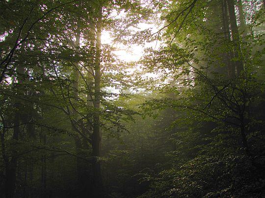 Gorczański las.