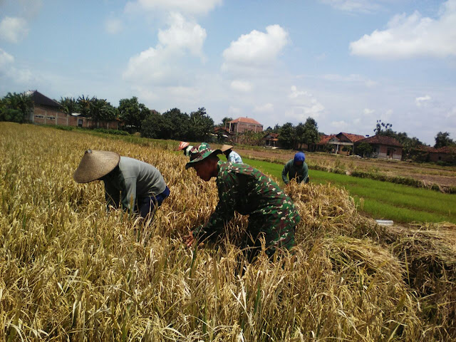 Babinsa Gamong  Dampingi Petani Panen Padi
