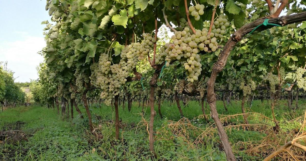 Interventi nel settore vitivinicolo