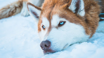 Siberian Husky, Dog, 4K, #4.564