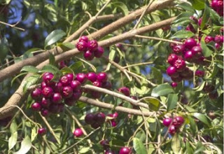 Jambinho cascata (riberry)
