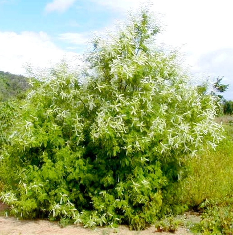 Mimosa caesalpiniaefolia