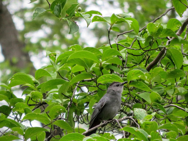 Birdwatching at Mount Auburn Cemetery in Cambridge, Massachusetts