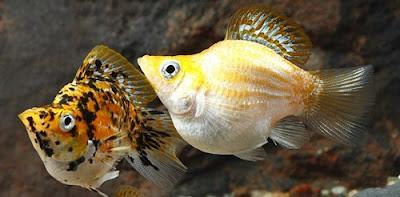 Ikan Molly Balon - Cara Budidaya Ikan Molly