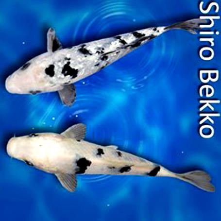 Jenis Ikan Koi Dan Harga Terbaru Saat Ini My Blog