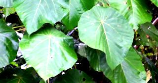 Khasiat dan manfaat daun ketapang untuk ikan hias, arwana dan cupang