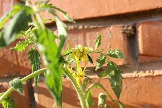 настроение своими руками, огород на балконе, петуньи, помидоры, рассада