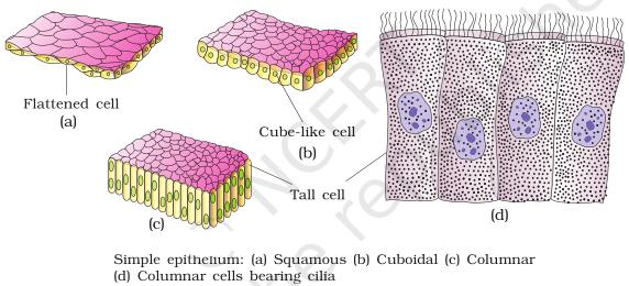 Simple Epithelium