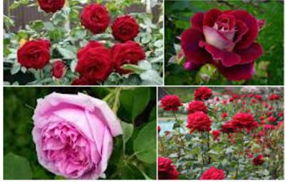 contoh Tanaman Mawar