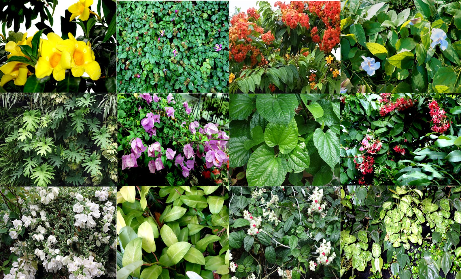 Garden climbers and creepers in malaysia and singapore for Landscaping plants pictures and names