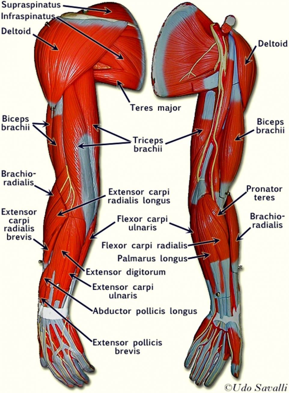 hight resolution of arms muscle anatomy diagram best secret wiring diagram