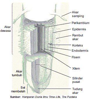 Bagian-bagian Struktur Morfologi dan Anatomi Tumbuhan beserta Fungsinya (Akar, Batang, Daun, Bunga)